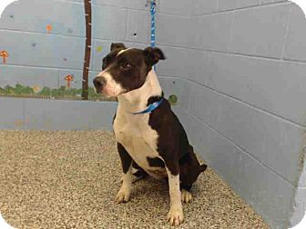 Pit Bull Terrier Mix Dog for adoption in San Bernardino, California - URGENT on 3/31 SAN BERNARDINO