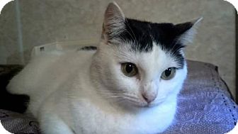 American Shorthair Cat for adoption in Tyler, Texas - AA-Joni
