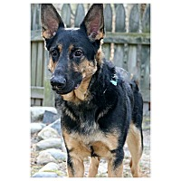 Adopt A Pet :: Scout - Forked River, NJ