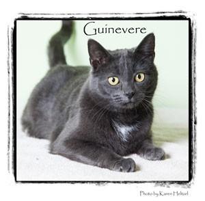 Domestic Shorthair Cat for adoption in Warren, Pennsylvania - Guinevere