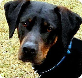 Labrador Retriever/Doberman Pinscher Mix Dog for adoption in Wakefield, Rhode Island - JUDE(TRAINED--SO SMART!! WOW!