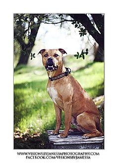 Boxer/American Staffordshire Terrier Mix Dog for adoption in Sacramento, California - L.J.