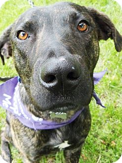 Dutch Shepherd/American Pit Bull Terrier Mix Dog for adoption in Detroit, Michigan - Brando-Adopted!