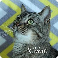 Domestic Shorthair Cat for adoption in Wichita Falls, Texas - Kibbe