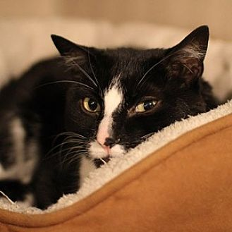 American Shorthair Cat for adoption in New York, New York - Samory