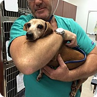 Dachshund Dog for adoption in Weston, Florida - Sir Charlie