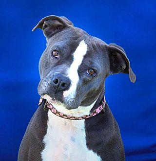 American Staffordshire Terrier Mix Dog for adoption in Toluca Lake, California - Female Frankie