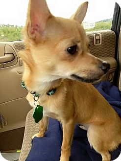 Chihuahua Mix Puppy for adoption in Salem, Oregon - Tod