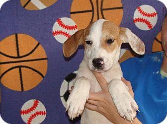 Australian Shepherd/Labrador Retriever Mix Puppy for adoption in Oviedo, Florida - Ozzy