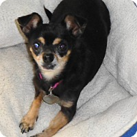Chihuahua Dog for adoption in Festus, Missouri - #44 Wee Wally