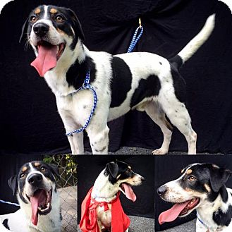 Beagle Mix Dog for adoption in Danbury, Connecticut - Noah
