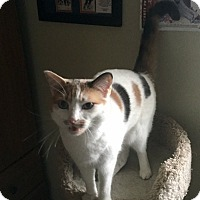 Domestic Shorthair Cat for adoption in Wantagh, New York - Patches
