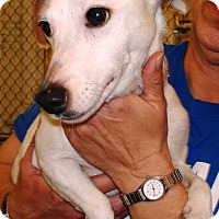 Jack Russell Terrier Mix Dog for adoption in Kalamazoo, Michigan - Twinkletoes