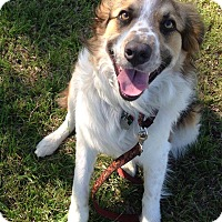 Adopt A Pet :: Toby - Allen, TX