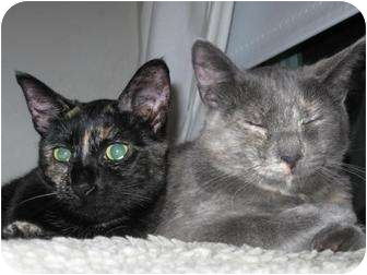 Domestic Mediumhair Cat for adoption in Roseville, Minnesota - Luna and Smudge