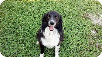 Border Collie Mix Dog for adoption in Harrisburgh, Pennsylvania - Frankie