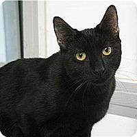 Domestic Shorthair Cat for adoption in Huntington, New York - Hugo