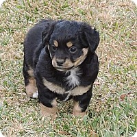 Adopt A Pet :: Spencer - La Habra Heights, CA