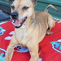 Miniature Pinscher Mix Dog for adoption in Pipe Creek, Texas - Cooper