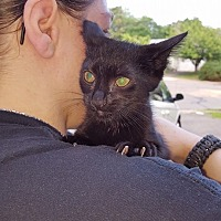 Adopt A Pet :: Shadow - Waterbury, CT