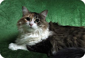 Domestic Longhair Cat for adoption in St. Louis, Missouri - Sophie