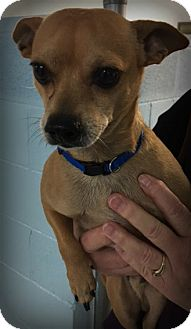 Terrier (Unknown Type, Small)/Chihuahua Mix Dog for adoption in Muskegon, Michigan - Bandit