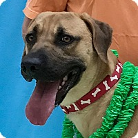 Mountain Cur Mix Dog for adoption in Evansville, Indiana - Titan