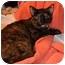Photo 4 - American Shorthair Cat for adoption in Little Rock, Arkansas - Josie