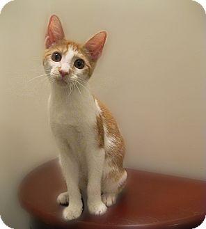 Domestic Shorthair Kitten for adoption in Richmond, Virginia - Passel of Kittens (Jaspurr)