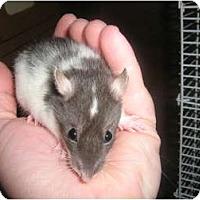 Adopt A Pet :: Tullie - Cincinnati, OH