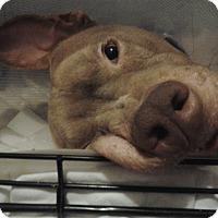 Adopt A Pet :: Ashton Kutcher - Lutz, FL