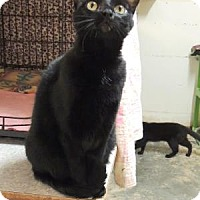 Domestic Shorthair Cat for adoption in Westville, Indiana - Pepper