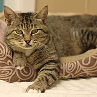 Domestic Shorthair Cat for adoption in Mebane, North Carolina - Rupee Moneypenny