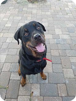 Rottweiler Dog for adoption in New Smyrna Beach, Florida - Goliath