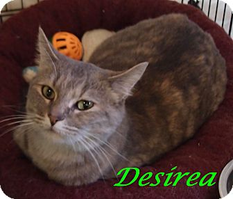 Domestic Shorthair Cat for adoption in Chisholm, Minnesota - Desirea