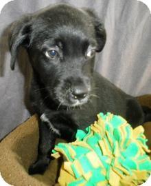 Labrador Retriever/Border Collie Mix Puppy for adoption in Lincolnton, North Carolina - Sharon