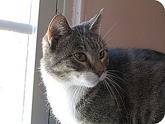 American Shorthair Cat for adoption in Plattekill, New York - Pollyianna