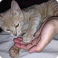 Adopt A Pet :: Lynxie - Dallas, TX