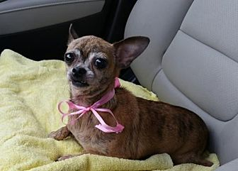 Chihuahua Dog for adoption in West Palm Beach, Florida - Rosey