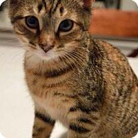 Adopt A Pet :: Adeline - Merrifield, VA