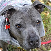 Pit Bull Terrier Mix Dog for adoption in Huntington, New York - Hamilton