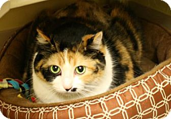 Domestic Shorthair Cat for adoption in West Des Moines, Iowa - Pella