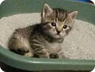 Domestic Shorthair Kitten for adoption in McArthur, Ohio - Tigger