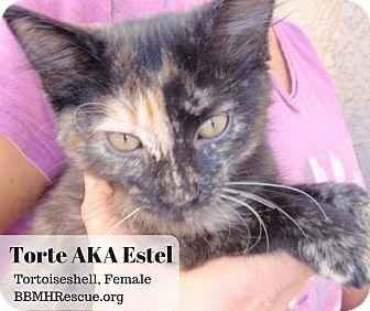 Domestic Shorthair Kitten for adoption in Temecula, California - Torte