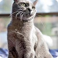 Adopt A Pet :: Silver - Davis, CA