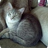 Domestic Shorthair Cat for adoption in Valley Park, Missouri - Gracie