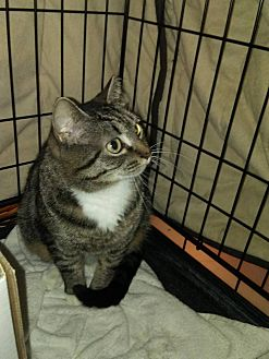 Domestic Shorthair Cat for adoption in Bethpage, New York - Sophia