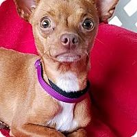 Adopt A Pet :: Opera - San Antonio, TX