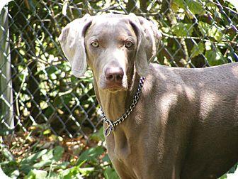 Weimaraner Dog for adoption in Toledo, Ohio - CALLIE