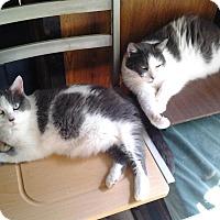 American Shorthair Cat for adoption in Andover, Kansas - Pita